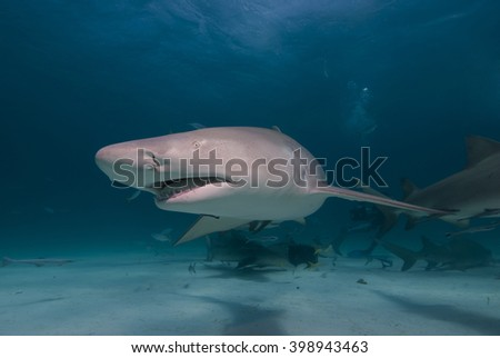 Lemon shark from the front showing its teeth in clear blue water. - stock photo