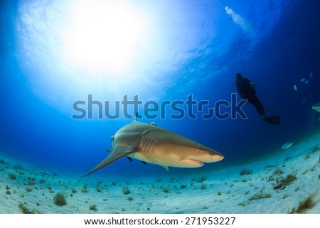 Lemon shark with a diver and the sunbeam behind, Tiger beach, Bahamas - stock photo