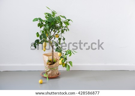 Lemon tree on floor, white wall in the background, stock picture - stock photo