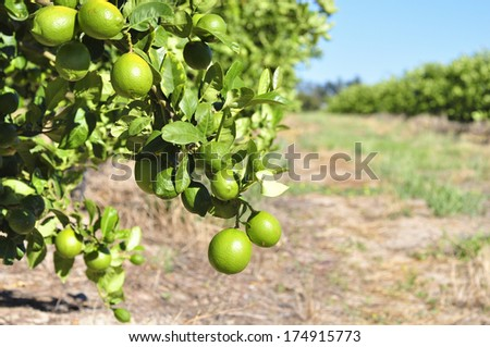 Lemon tree orchard and green lemons on branches - stock photo