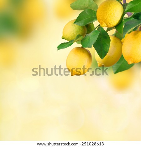 Lemon tree with fruits - stock photo