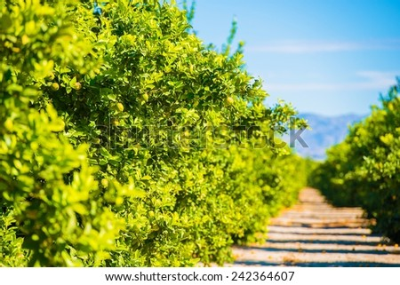 Lemon Trees Plantation. Lemon Trees Farm Field in California, United States. - stock photo