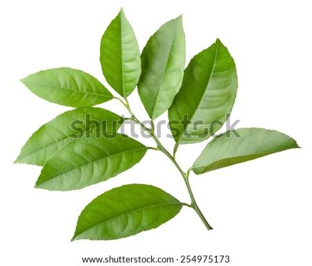 lemon twig isolated on white - stock photo
