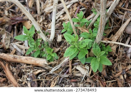 Lemon verbena / Lemon beebrush (Aloysia citrodora) herb shrub plant, in the kitchen garden coming from its roots in spring after a cold winter, on a brown wooden mulch background. With old stems. - stock photo