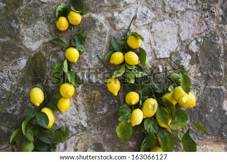 Lemons hanging on a wall, Ravello, Amalfi Coast, Salerno, Campania, Italy - stock photo