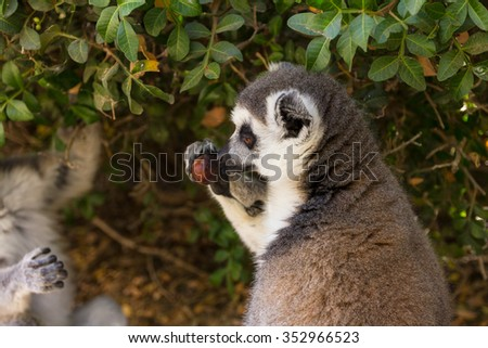 Lemur and acorn, Ring-tailed Lemur (Lemur catta) - stock photo