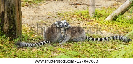 Lemur and the cuple - stock photo