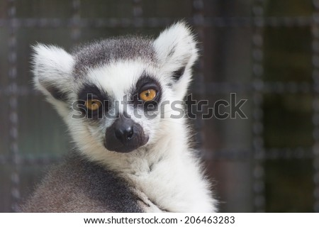 Lemur catta at Safari World, Bangkok, Thailand - stock photo