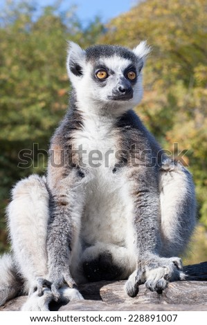 Lemur catta sitting on a branch - stock photo