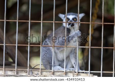 Lemur in a cage grabbing a bar - stock photo