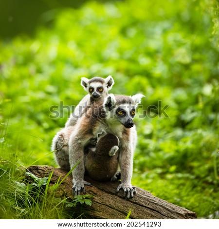 Lemur kata (Lemur catta) - stock photo