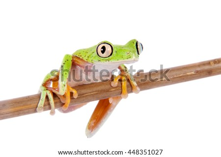 Lemur leaf frog, agalychnis lemur, isolated on white background - stock photo