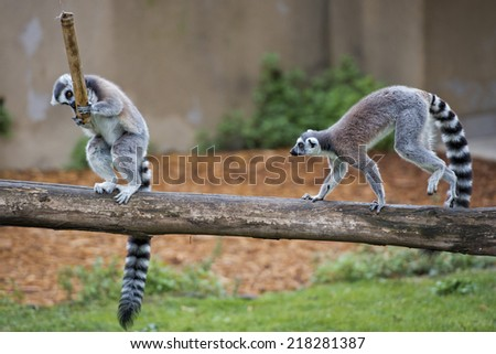 lemur monkey family on the grass while fighting for food - stock photo