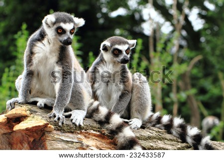 lemur monkeys  - stock photo