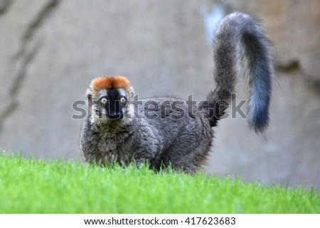 Lemur on a ground.  - stock photo