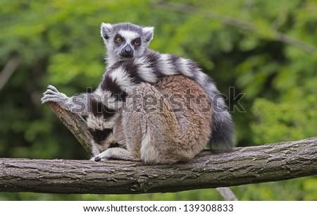 lemur sitting on the branch - stock photo