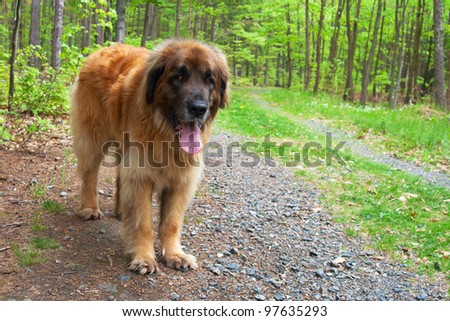 Leonberger dog standing on forest road - stock photo