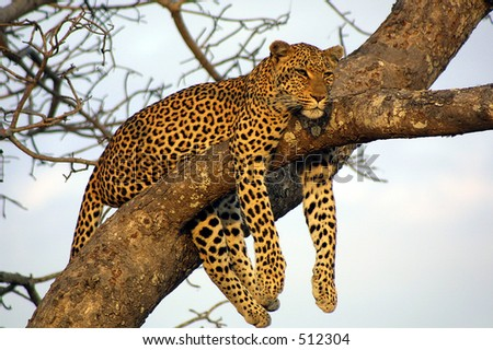Leopard at Ngala Private Game Reserve, South Africa - stock photo