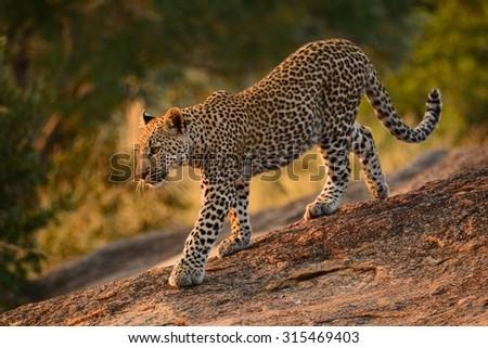Leopard cub walking down rocks in the early morning light - stock photo