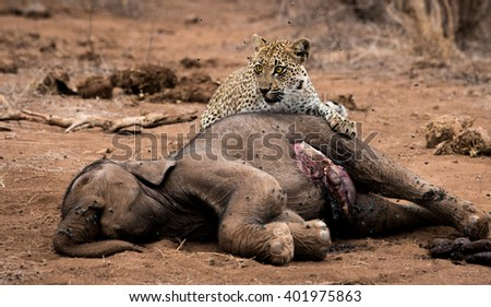 Leopard feeding on a baby Elephant carcass in the Kruger National Park, South Africa. - stock photo