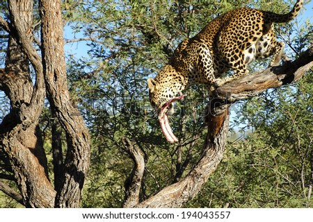 Leopard feeding on a Branch - Namibia - stock photo