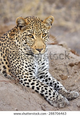 Leopard female - stock photo