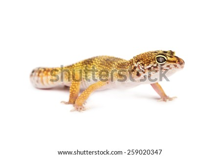 Leopard gecko isolated on white background - stock photo