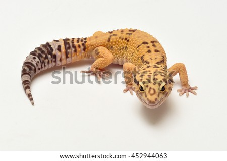 Leopard gecko lizard, close up macro. Isolated on white background. - stock photo