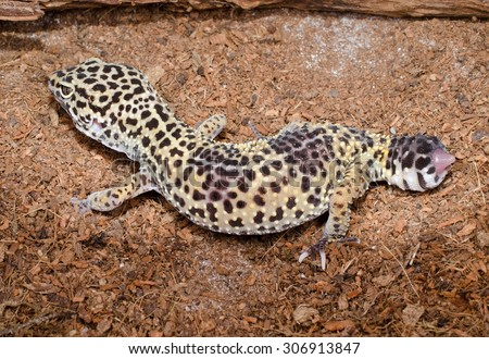 leopard gecko lost tail - stock photo