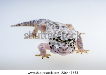 Leopard gecko shedding it's skin - stock photo