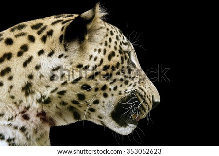Leopard head on a black background, isolated - stock photo