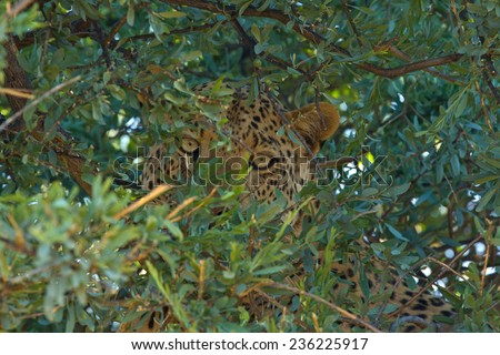 Leopard hiding in tree after killing warthog - stock photo