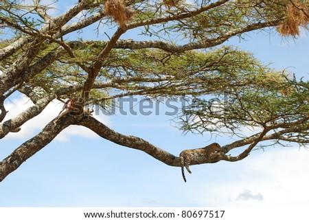 Leopard & his Kill in Tree - stock photo