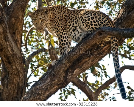 Leopard in a tree in Botswana - stock photo