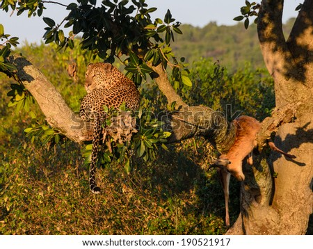 Leopard in a tree with its kill early in the morning sunlight - stock photo