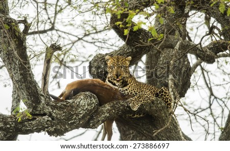 Leopard in a tree with its prey, Serengeti, Tanzania, Africa - stock photo
