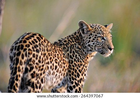 Leopard in afternoon sun. - stock photo