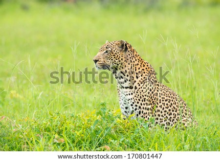 leopard in environment - stock photo