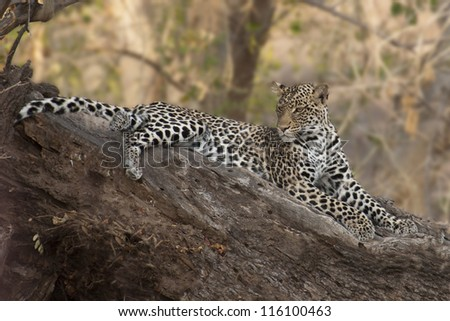 Leopard in Mashatu Game Reserve, Botswana, Africa - stock photo
