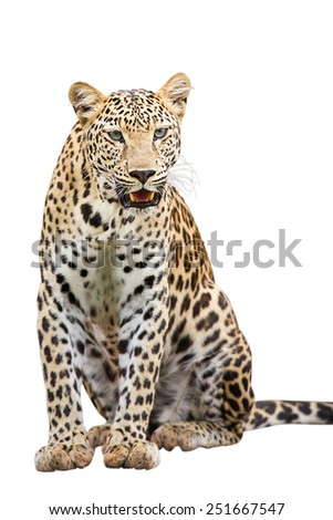 Leopard in nature - stock photo