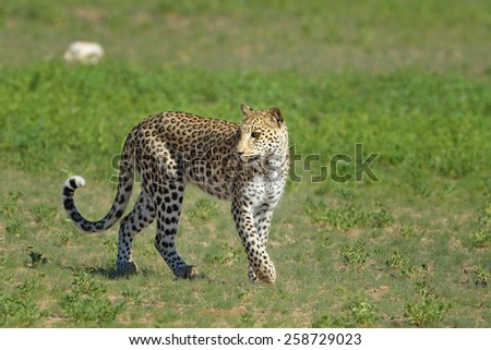 Leopard in riverbed - stock photo