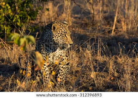Leopard in the bush at sunrise in Sabi Sands in greater Kruger National Park, South Africa - stock photo