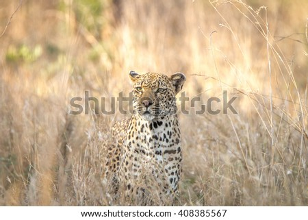 Leopard in the grass in the Kruger National Park, South Africa. - stock photo