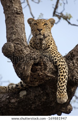 Leopard in tree looking alert, South Africa. - stock photo