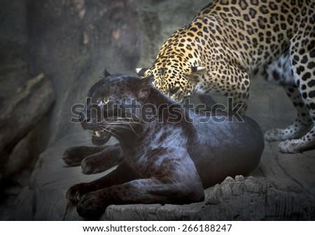 Leopard in zoo. - stock photo