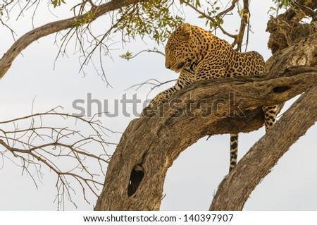 Leopard is sitting on a branch and look over the jungle - stock photo