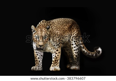leopard isolated on black - stock photo