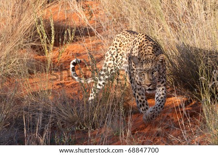 Leopard, Kalahari Desert - stock photo