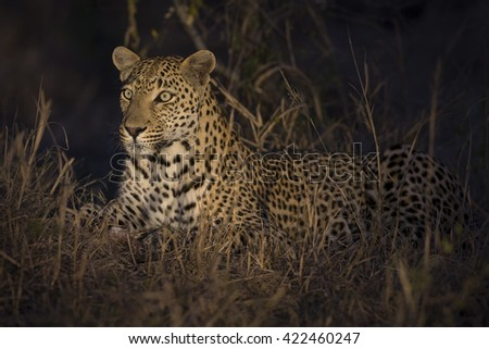 Leopard lay down in the darkness to rest and relax - stock photo