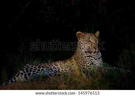 Leopard lying in darkness with selective light resting waiting - stock photo